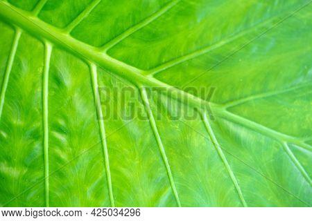 Background Texture Of Backlit Green Leaf Veins