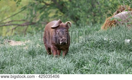 Wild Pig With Dark Brown Hair And Curled Pig Tail In The Forest Eating Grass In The Wild In The Wild