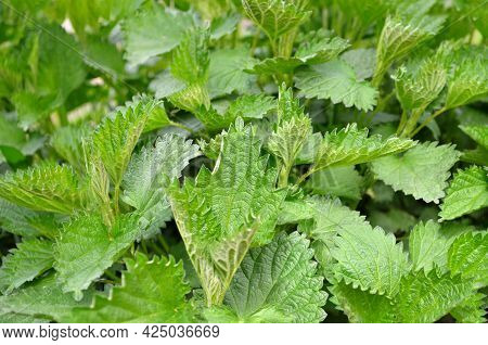 Stinging Nettle Or Urtica Dioica - Herbaceous Perennial Medicinal Plant.