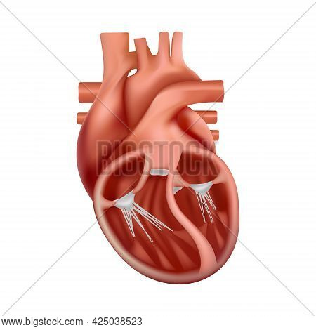 3d Anatomy Of The Human Heart. Anatomically Correct Realistic Heart