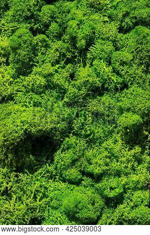 Beautiful Green Moss Close Up, Reindeer Moss Texture Background, Abstract Green Wall Decoration Made