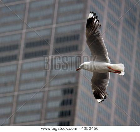City Seagull