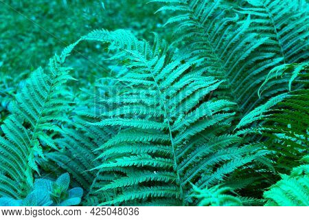Natural Fern Leaf. Background From Leaves Of Tropical Forest Plant Fern.