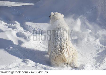 Polar Bear Cub Is Shaking Off Snow And Ice From Its Coat. Ursus Maritimus Or Thalarctos Maritimus. A