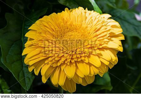 A Bright Yellow Gerbera Flower On The Infield, Close-up