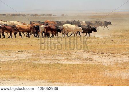Large herd of Masai cattle walking on dusty plains, Kenya