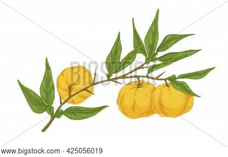 Ripe Yuzu Fruits Growing On Tree Branch With Leaves. Vintage Drawing Of Japanese Citrus Plant. Reali