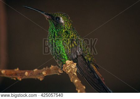 A Macro Closeup Shallow Focus Shot Of Green Crowned Brilliant Hummingbird Perched On A Slim Branch