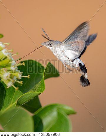 A Closeup Shot Of A Hummingbird Hawk-moth Collecting Nectars From A Flower