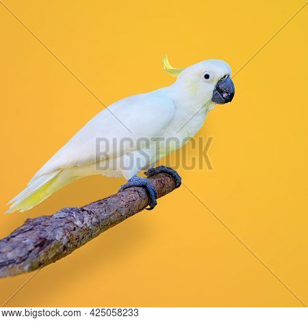 A Closeup Shot Of A Sulphur-crested Cockatoo Perched On The Branch On A Yellow Background