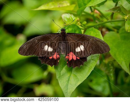 The Ruby-spotted Swallowtail Or Red-spotted Swallowtail (papilio Anchisiades), Black Butterfly With