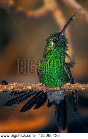 A Vertical Macro Shallow Focus Shot Of Green Crowned Brilliant Hummingbird Perched On A Slim Branch