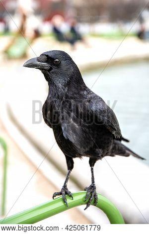 Black Common Raven Close Up, Bird Watching