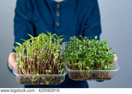 Hold The Microgreen In Hands. Mash And Arugula Sprouts In A Plastic Tray. Sprouted Sprouts. Urban Ga