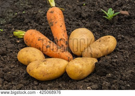 The Harvest Of Fresh Vegetables Lies On The Ground In The Field. Fresh Unwashed Potatoes And Two Car