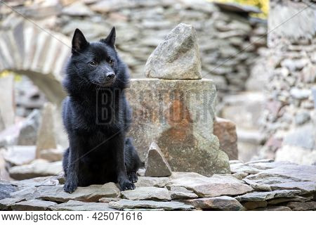 Black Dog On On Stone Wall With Blurred Background - Breed Named Schipperke