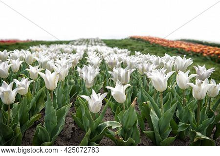 Tulips Farm. Tulips Field. White Tulips Blooming. Happy Mothers Day. Womens Day Concept. Spring Seas