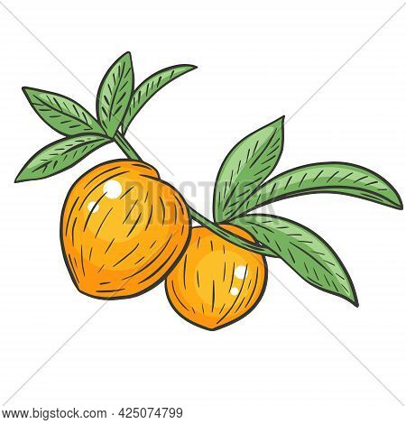 A Pair Of Whole Peaches On A Branch With Leaves, Hand Drawing. Vector Illustration Of A Peach. Color