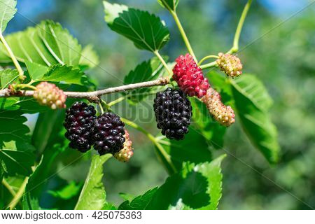 Ripe Mulberry On A Branch With Leaves In The Rays Of The Sun On A Blurred Background. Delicious Juic