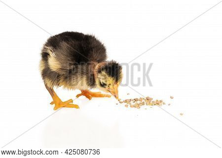 Little Black-yellow Chicken With A Naked Neck Pecks Grain Isolated On White Background