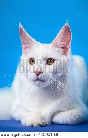 Maine Coon Cat - Large Domesticated Longhair Cat Breed. Portrait Of Beautiful White Color Female Ame