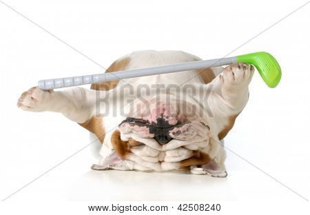 retired dog - english bulldog laying down holding golf club poster