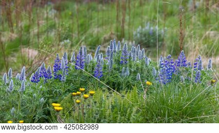 Close up shot of Lupine wild flowers