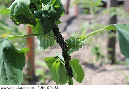 Pests On Plants. Aphids On The Stems Of Plants. Garden Pests. Crop