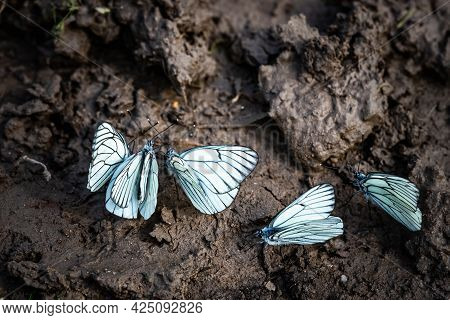 White Butterfly Drinking Water On Wet Ground