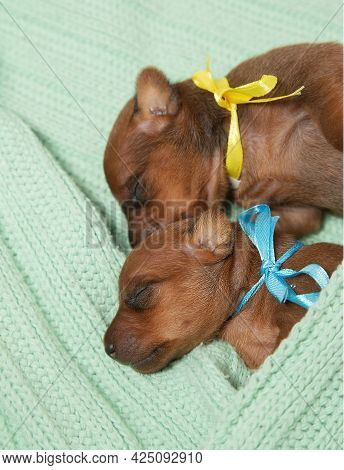 Two Small Newborn Puppies Lie On A Warm Knitted Blanket. The Concept Of Love And Care, Warmth And Co