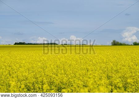 Small clouds at blue sky above yellow agricultural field of rape, copyspace