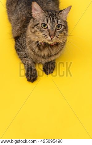 Portrait Of A Beautiful Kitten Lying On Yellow Table With White Background.