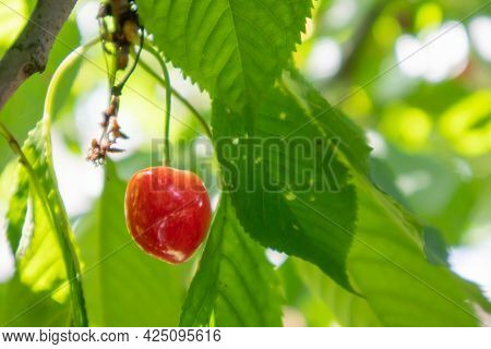 Ripe Red And Sweet Cherry Berries Hanging From A Tree Branch Before Harvest In Early Summer. A Tree