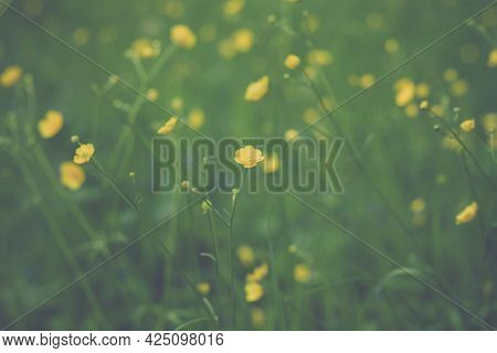 Summer Natural Background Of Yellow Buttercups In Green Grass. Sunny Little Flowers Bloom In Summer.