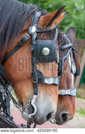 Horse In A Harness Pending The Horseman. High Quality Photo
