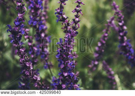 Beautiful Salvia Pratensis. Meadow Clary. Meadow Sage. Honey Plant.
