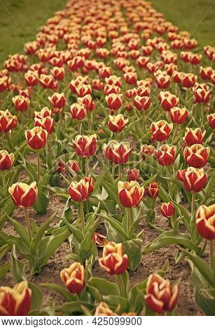 Colorful Field Tulips. Netherlands Sightseeing. Truly Striking Flower With Amazing Color Combination
