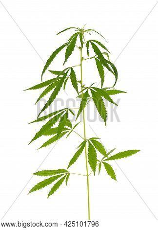 Marijuana Plant Isolated On White Background. Hemp Leaf Close Up. Cannabis Green Leaf.