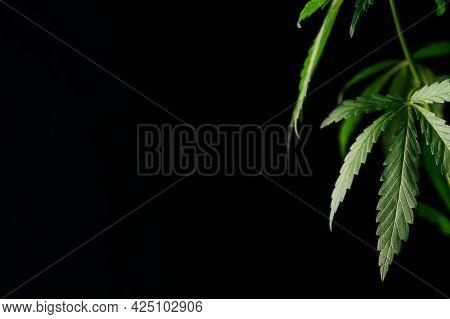 Cannabis Marijuana Green Leaves Against Black Background