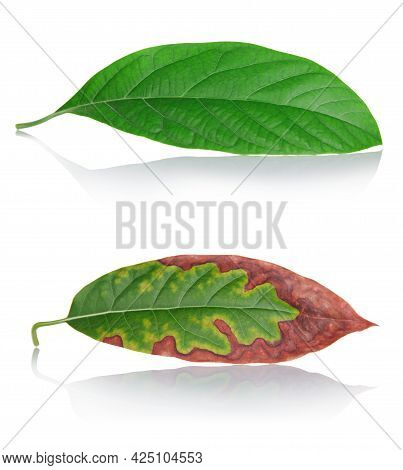 Aging Concept. Two Sheets. Fresh Healthy Leaf And Aged Leaf Isolated On White Background
