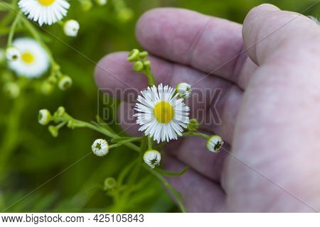 Small Field Daisies In A Man's Hand. Man's Palm With Chamomiles On Sunny Summer Day. Collecting Phar