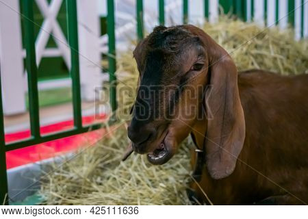 Portrait Of Brown Anglo Nubian Goat With Long Ears Eating Hay At Agricultural Animal Exhibition, Sma