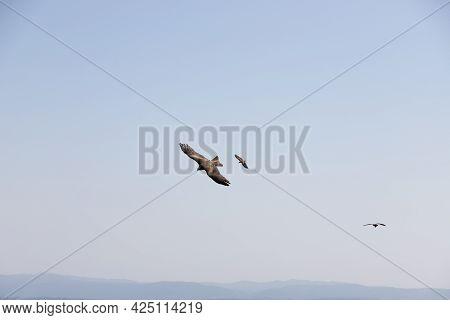 Common Eagle Flying. Three Birds Of Prey, On Blue Sky. Aquila Chrysaetos Or Golden Eagle