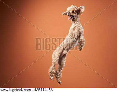 Funny Active Dog Jumping , Happy Small Poodle On Orange Background