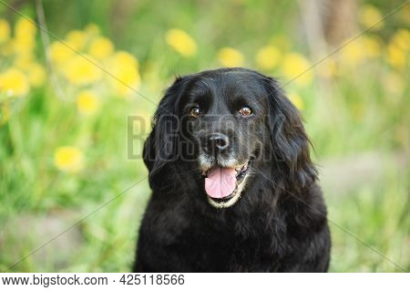 Portrait Of An Old Black Spaniel Dog On A Natural Bright Green Grass And Yellow Dandelions Backgroun