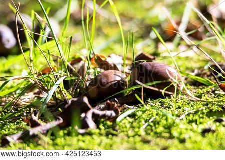 A Close Up Portrait Of A Couple Of Acorns Lying On Some Moss In A Forest. The Oaknuts Have Lost Thei