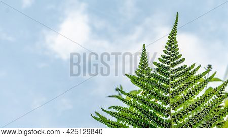 Sporangia On Fern Against Clear Sky. Groupes De Sporanges On Fern Leaves. Reproduction Of Olypodiops