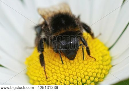 Frontal Closeup Of A Worker Of Buff-tailed Or Large Earth Bumblebee,  Bombus Terrestris, On A Yellow