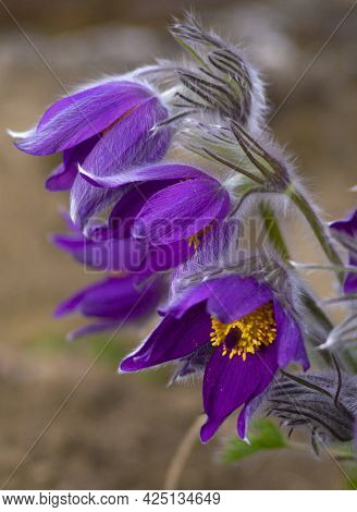 Flowers Of The Windflower Or Pulsatilla Patens.first Spring Blooming Flower, Purple Plant Macro, Dre
