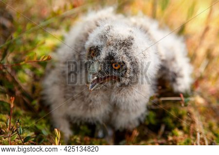 Long-eared Owl Chicks Flew Out Of The Nest And Sit On The Moss.